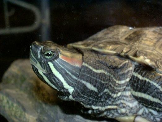 Turtle%20head%20side2